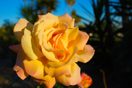 briar bush: Beautiful blossoming rose flower in the garden.yellow rose flower