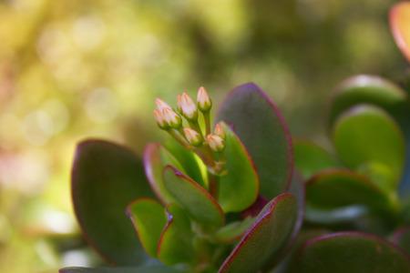 crassula: Dollar plant (crassula portulacea) leaves close up