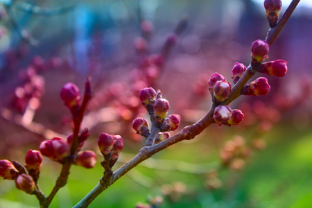 apricot flower bud on a tree branch, branch with tree buds Zdjęcie Seryjne