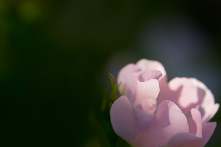 uncultivated: Close-up of a dog rose (wild rose), Rosa canina, with green leaves on a blurry background. Stock Photo
