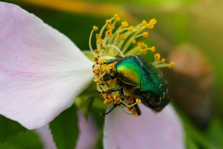 aurata: green chafer climb on the pink rose petal (Cetonia aurata). Rose chafer in a pink rose Stock Photo