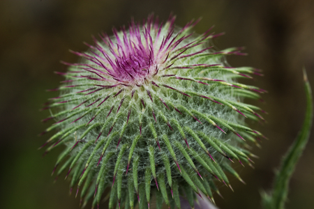 nobility: Close up image showing the purple flower of a milk thistle which is a celtic symbol of nobility.