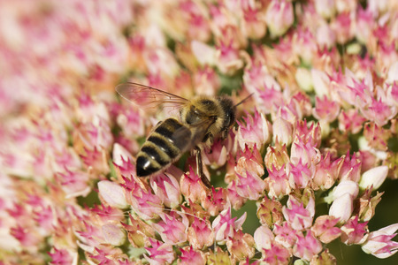 apis: Bee on a flower of the Sedum (Stonecrop) in blossom. Macro of honey bee (Apis) feeding on pink (rose) flower