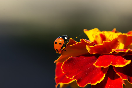 flower ladybug: ladybird on an orange flower. Ladybug on orange flower petals
