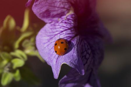 flower ladybug: ladybird on a purple (lilac) flower. Ladybug and purple (lilac) flower