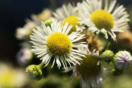 matricaria: Chamomile flowers field - closeup of Matricaria recutita Stock Photo