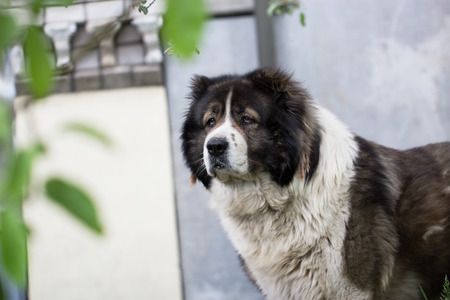 large dog: Caucasian Shepherd, a large guard dog. Fluffy Caucasian shepherd dog in a garden