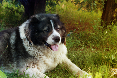 large dog: Caucasian Shepherd, a large guard dog. Fluffy Caucasian shepherd dog is lying on a green grass