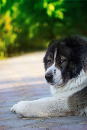 large dog: Caucasian Shepherd, a large guard dog. Fluffy Caucasian shepherd dog is lying on the ground