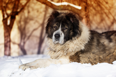 Adult Caucasian Shepherd dog is lying outside on a cold winter day with snow.Caucasian sheepdog in winter time. Stock Photo
