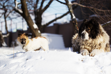 Adult Caucasian Shepherd dog and puppy in winter time. . Fluffy Caucasian shepherd dog and puppy
