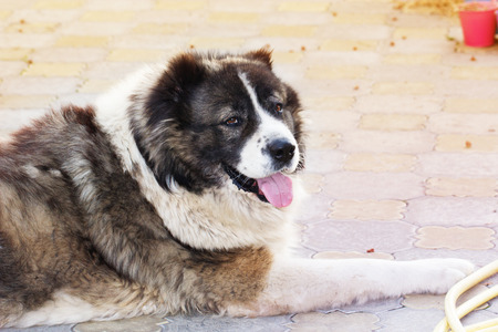 large dog: Caucasian Shepherd, a large guard dog. Fluffy Caucasian shepherd dog is lying in a garden