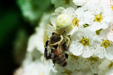 white spider eating bee. A spider attack a bee while her prey is eating pollen on a white flower Stock Photo
