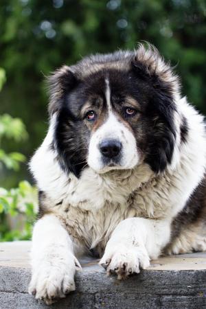 Adult Caucasian Shepherd dog. Fluffy Caucasian shepherd dog is lying on the ground Stock Photo