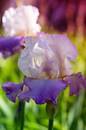 bearded wire: spring flowers in a garden. iris flower