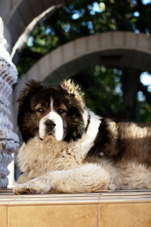 Adult Caucasian Shepherd dog in the yard. Fluffy Caucasian shepherd dog in the yard Stock Photo