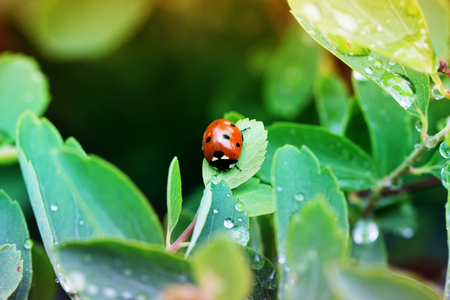 Close-up ladybug on a green leaf in the grass . Water drops. Ladybug on wild flower in spring. Ladybug close-up Stock Photo
