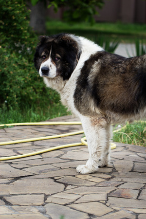 Adult Caucasian Shepherd dog. Fluffy Caucasian shepherd dog