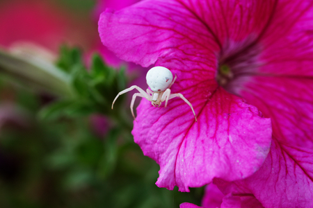 A macro photo of a goldenrod crab spider or flower crab spider (Misumena vatia).