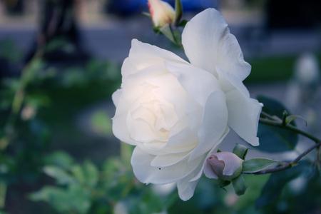 White roses in the garden. Delicate Rosebuds. Bright orange roses. Caring for garden roses. Rose Bush