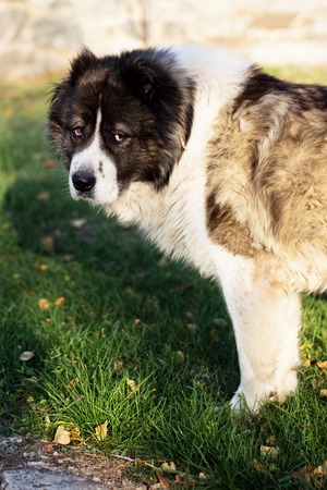 Fluffy Caucasian shepherd dog in the yard. Caucasian sheepdog in autumn time.Adult Caucasian Shepherd dog.