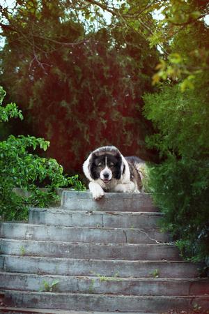 Caucasian Shepherd a large guard dog. Fluffy Caucasian shepherd dog is lying in a garden