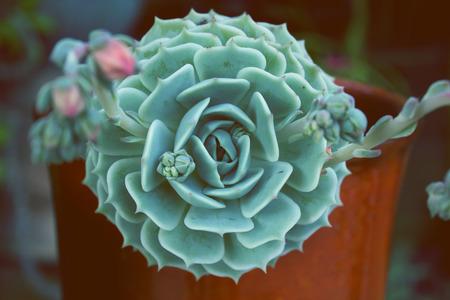 Background nature. Natural background Cactus succulent plant. Rectangular arrangement of succulents; cactus succulents in a planter