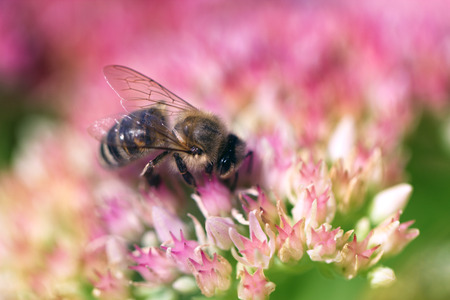 Bee on a flower of the Sedum (Stonecrop) in blossom. Macro of honey bee (Apis) feeding on pink (rose) flower