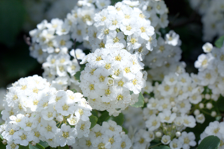 Spring blooming guelder rose shrub round white flowers spring spring blooming guelder rose shrub round white flowers spring abstract blurred background with mightylinksfo