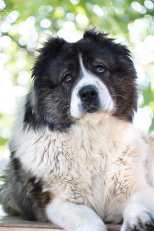Caucasian Shepherd, a large guard dog. Fluffy Caucasian shepherd dog is lying on a green grass