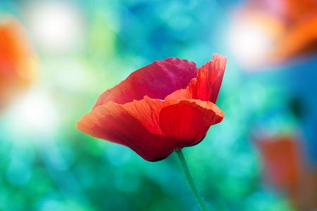 Red poppy on green weeds field. Poppy flowers.Close up poppy head. red poppy.Red poppy flowers field. Papaver rhoeas Stock Photo