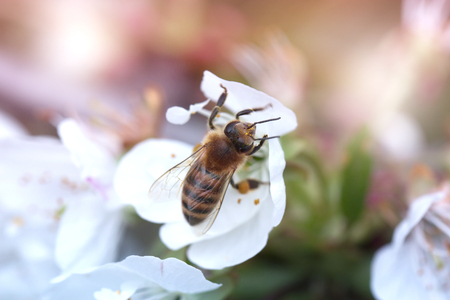 bee on a white flower on a tree. Bee picking pollen from apple flower.Bee on apple blossom.Honeybee collecting pollen at white flower blossom Stock Photo