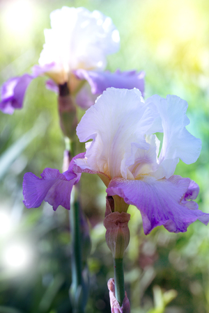 Beautiful iris flower background. Violet iris over green meadow bright background Stock Photo