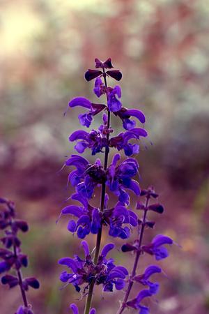 Lavender Flower in the garden. purple iris flower