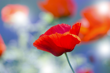 Red poppy on green weeds field poppy flowersose up poppy stock red poppy on green weeds field poppy flowersose up poppy head red mightylinksfo