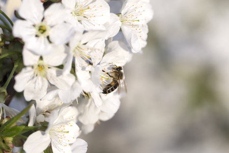 bee on a white flower on a tree. Bee picking pollen from apple flower.Bee on apple blossom.Honeybee collecting pollen at a pink flower blossom