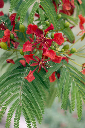 Red acacia flower. Closeup on red flowers of flamboyant tree, acacia green leaves Stock Photo