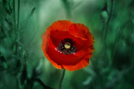 Red poppy on green weeds field. Poppy flowers.Close up poppy head. red poppy.Red poppy flowers field. Papaver rhoeas 免版税图像