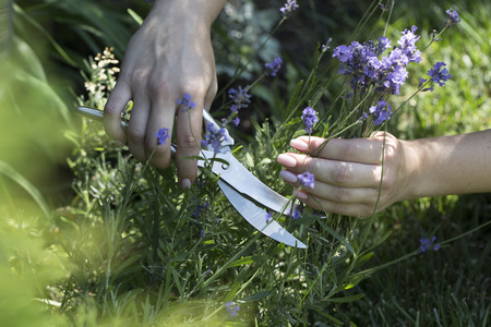 Woman cuts the lavender scissors. Woman cuts a lavender bouquet with garden scissors. Pruning a lavender in the garden Stock Photo