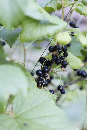 Black currants on the bush branch in the garden, harvest of blackcurrants on the branch. Sparkling in summer sun bunch ripe juicy black currant berries, hanging from branch. Imagens