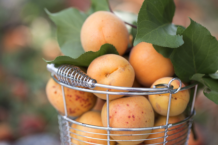 bucket  with ripe apricots on green background. ripe apricots Stok Fotoğraf