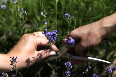 Woman cuts a lavender bouquet with garden scissors. Pruning a lavender in the garden