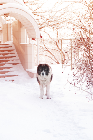 Adult Caucasian Shepherd dog is outside on a cold winter day with snow.Caucasian sheepdog in winter time. 版權商用圖片