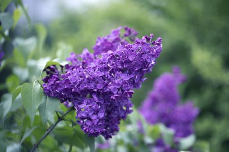 Frühlingszweig der blühenden Flieder. Bild der lila violetten Frühlingsblumen, abstrakter weicher Fokusblumenhintergrund