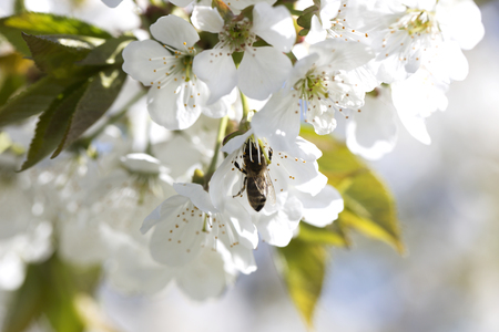 bee on a white flower on a tree. Bee picking pollen from apple flower.Bee on apple blossom.Honeybee collecting pollen