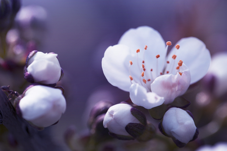 Spring blossom macro. Cherry blossom with beautiful flower bud and young booming flowers.