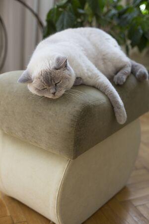 Sleeping white cat. Sleepy British shorthair cat