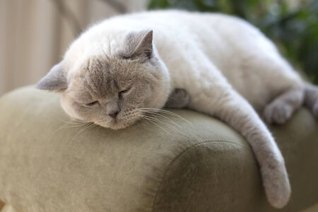 Sleeping white cat. Sleepy British shorthair cat