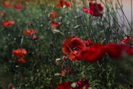 Red poppy flowers field. Poppy flowers.Close up poppy head.