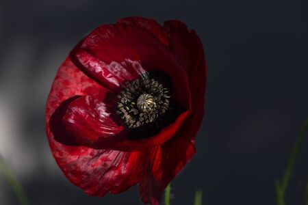 A beautiful red poppy close up. Corn Poppy Flowers Papaver rhoeas in Spring. Beautiful photo of poppy in bloom Stock Photo